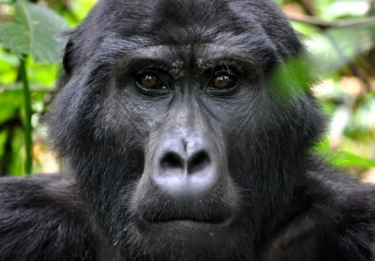 Bwindi Blackback  Photo and caption by ALISON MACPHERSON