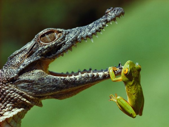 Frog and Crocodile, South Africa- Photograph by Jonathan Blair