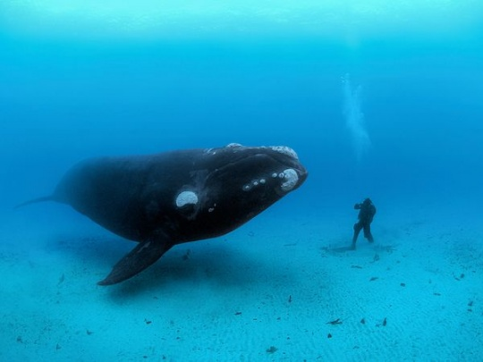 Southern Right Whale, New Zealand – Photograph by Brian Skerry