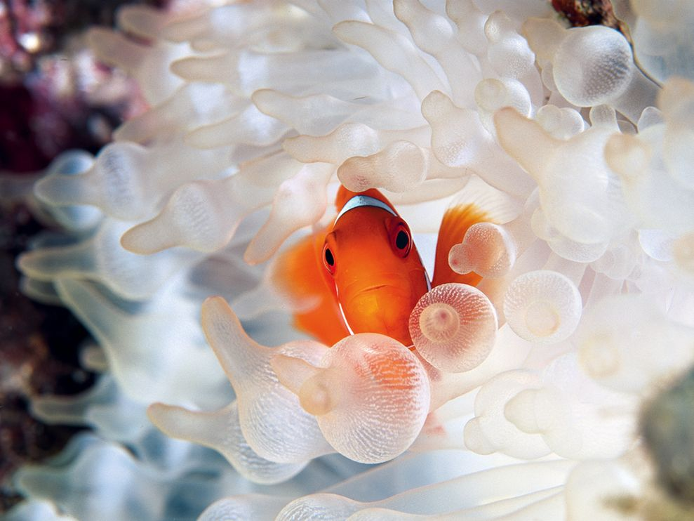 clownfish bubble tipped anemone