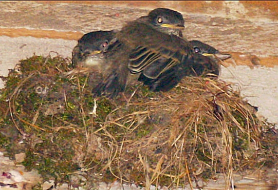 nesting fledglings