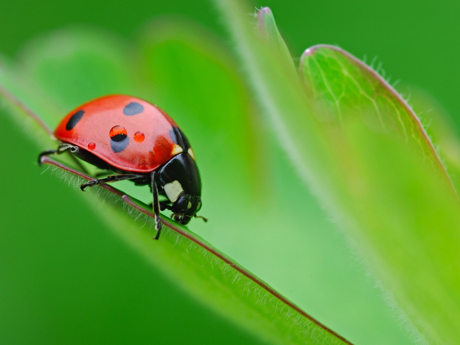 Wallpaper green background - Ladybug