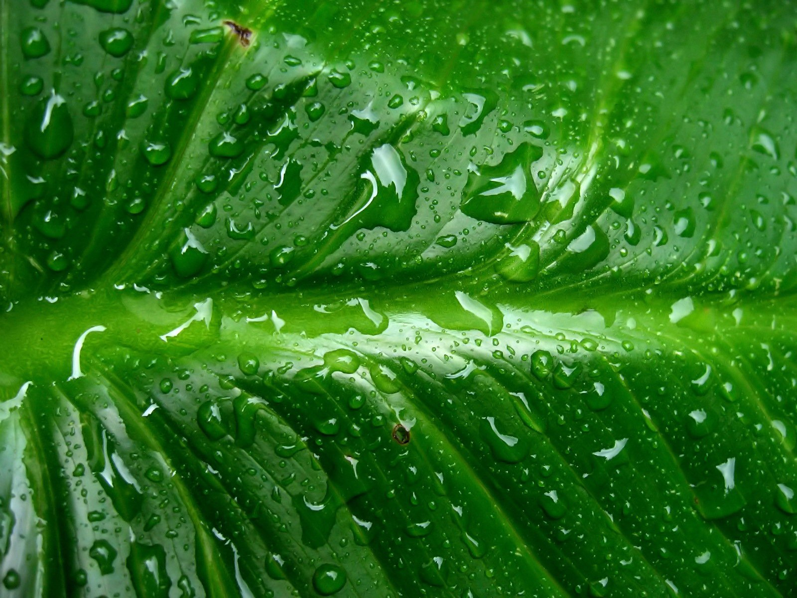 Wallpaper green background - Rain on leaf