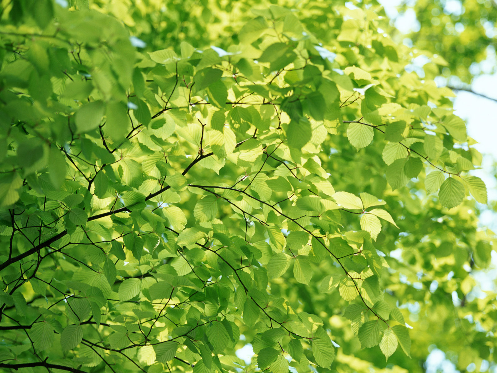 Wallpaper green background - Tree with Leaves